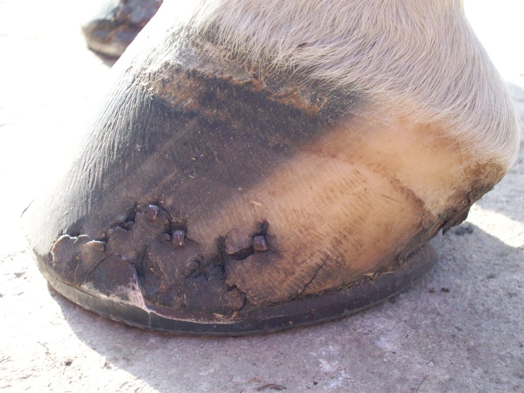 Horse Cracked Hoof