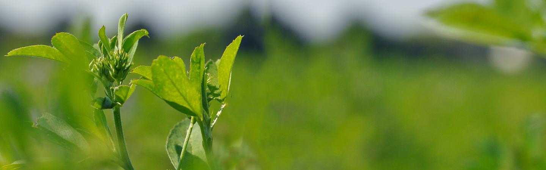 why alfalfa