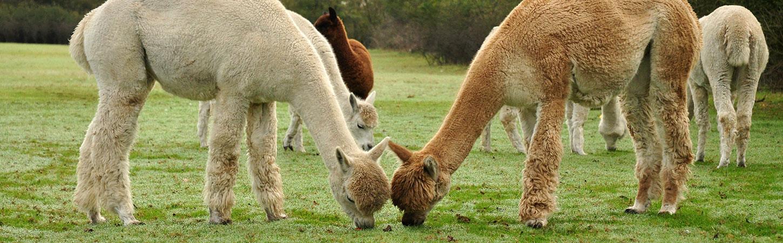 alpacas header