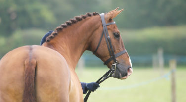 Chesnut Horse Portrait