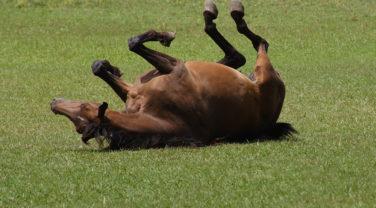 horse rolling around