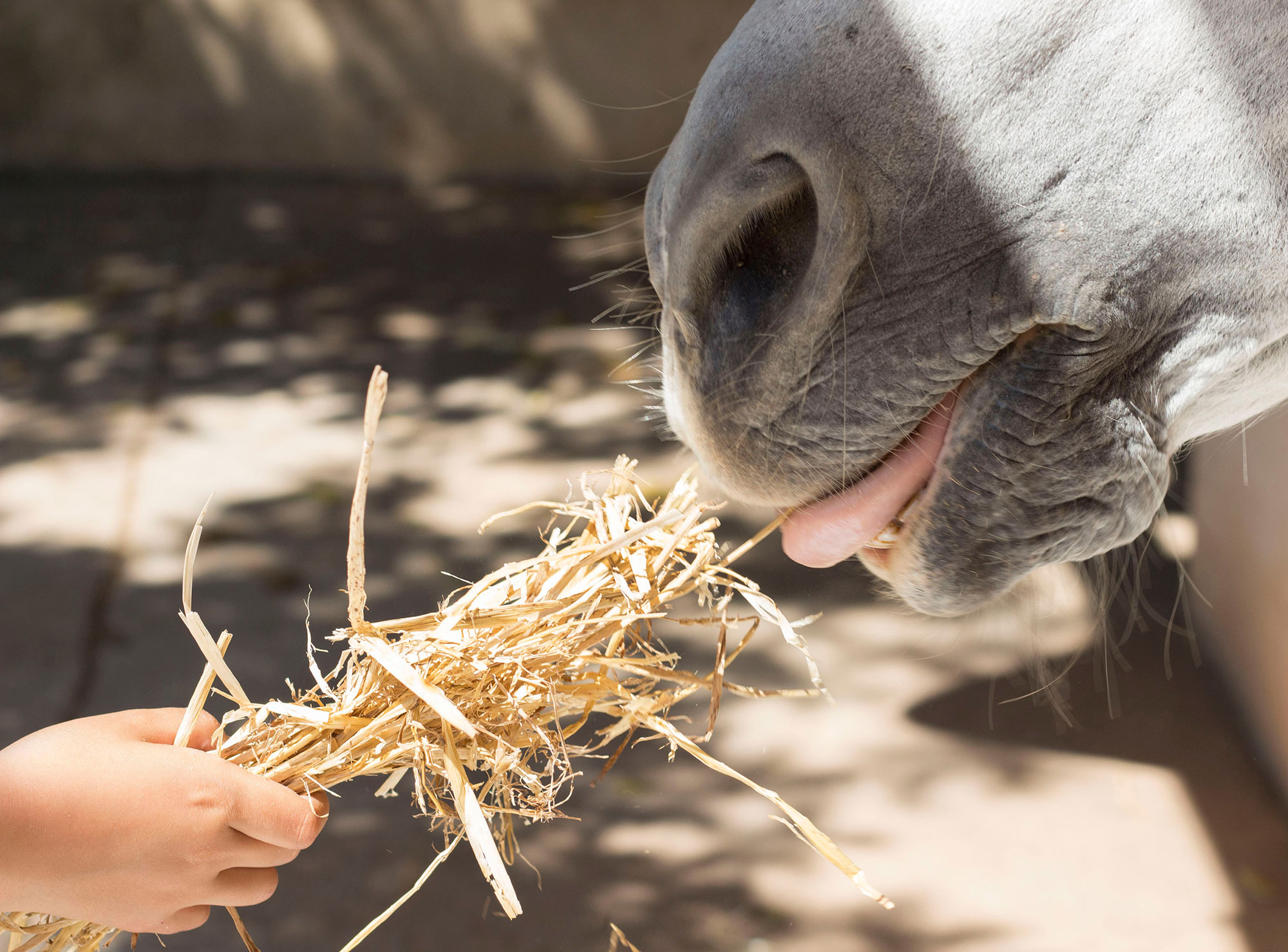 horse being hand fed straw