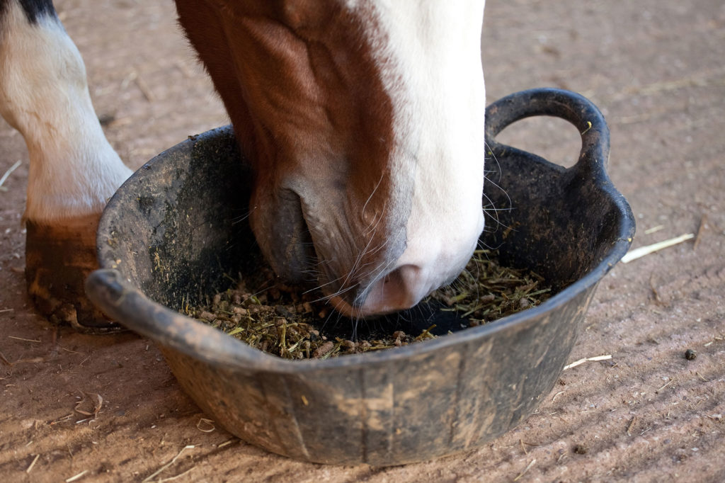 horse eating from rubber bucket
