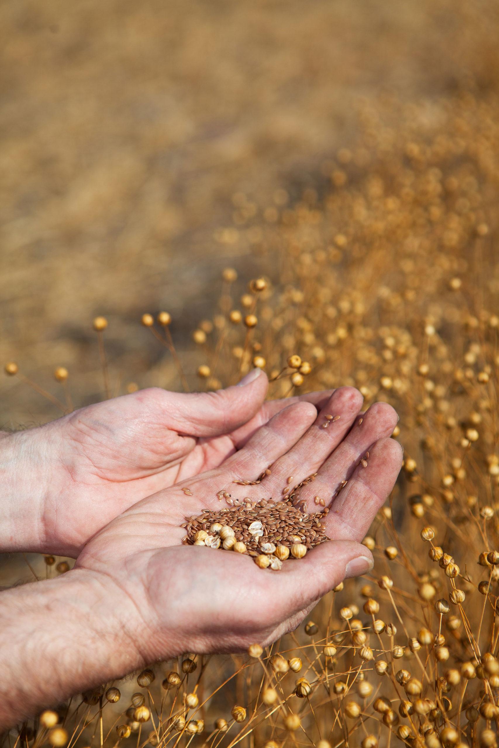 Farmer holding flax seed