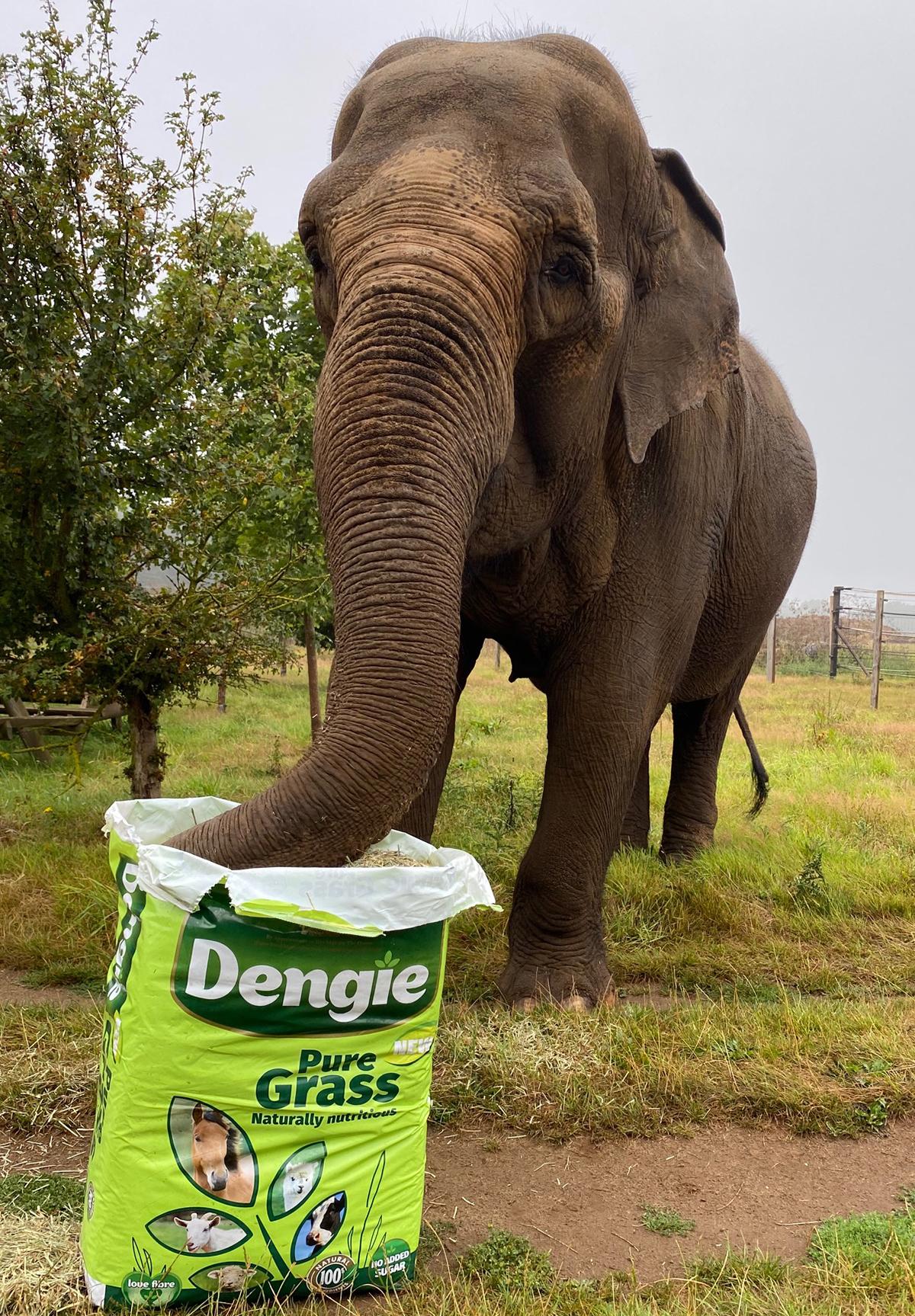 Elephant eating Pure Grass