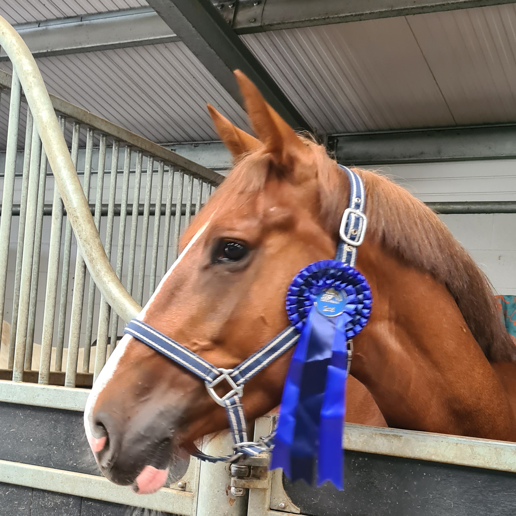 Horse with blue rosette